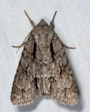 9238 – Greater Oak Dagger Moth – Acronicta lobeliae