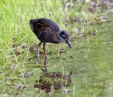 Virginia Rail - Rallus limicola (young chick)