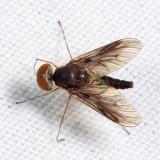 Chrysopilus quadratus