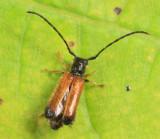 Plum Beetle - Tetrops praeusta