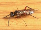Taxonus rufocinctus