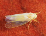 Zonocyba hockingensis