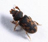 Heterocerus mollinus
