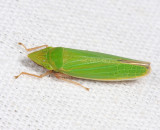 Draeculacephala antica or constricta