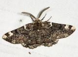 6763 - Oak Beauty - Phaeoura quernaria