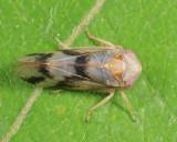 Macropsis bifasciata