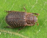 Trox aequalis (female)