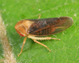 Leafhoppers genus Macropsis
