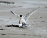 Least Terns - Sternula antillarum (mating)