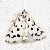 4794 - Spotted Peppergrass Moth - Eustixia pupula