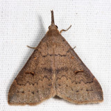 8386 - Speckled Renia - Renia adspergillus