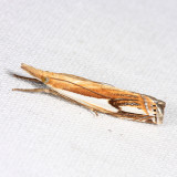 5362 - Double-banded Grass-veneer - Crambus agitatellus
