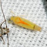 Ossiannilssonola australis
