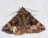 8444 - Mottled Bomolocha - Hypena palparia