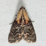 5608 - Striped Oak Webworm - Pococera expandens