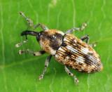 Weevils - Subfamily Baridinae
