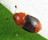 Carpophilus melanopterus