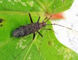 Phytocoris antennalis