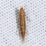 1480 - Cosmopterix delicatella