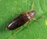 Phloiotrya fusca