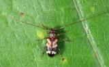 Urgleptes facetus