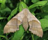 7828 - Modest Sphinx - Pachysphinx modesta