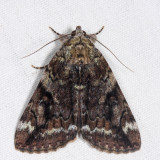 8876 -Little Underwing - Catocala micronympha