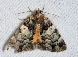 8721 - False Underwing - Allotria elonympha