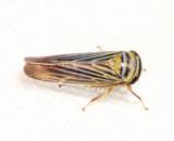 Limotettix nigrax
