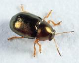 Diachus auratus