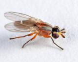 Diplotoxa versicolor