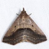 8491 - Lost Owlet - Ledaea perditalis