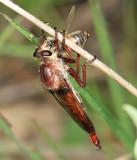 Proctacanthus rufus