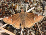 Southern Cloudywing - Thorybes bathyllus