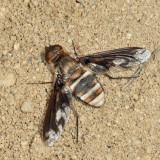 Exoprosopa fascipennis