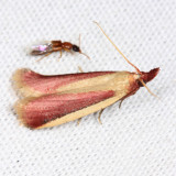 6053 - Carmine Snout Moth - Peoria approximella