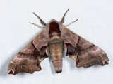 7821 - Twin-spotted Sphinx - Smerinthus jamaicensis