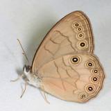 Appalachian brown - Lethe appalachia