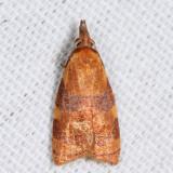 3716 - Spring Dead-leaf Roller - Cenopis diluticostana