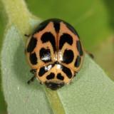 Lady Beetles - Genus Neoharmonia