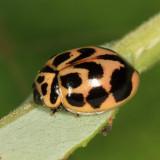V-marked Lady Beetle - Neoharmonia venusta