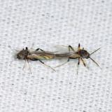Ceratopogoninae (Bezzia sp.?)