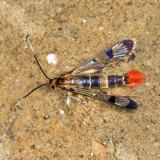 2546 - Red Maple Borer - Synanthedon acerrubri