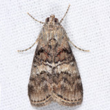 5606 - Maple Webworm Moth - Pococera asperatella