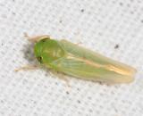 Chlorotettix spatulatus