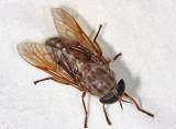 Tabanus catenatus