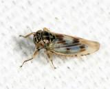 Macrosteles slossonae