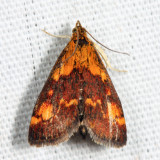 5058 – Orange Mint Moth – Pyrausta orphisalis