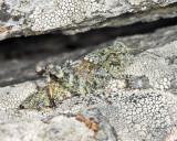 Crackling Locust - Trimerotropis verruculata verruculata (female nymph)