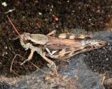 Huckleberry Grasshopper - Melanoplus fasciatus